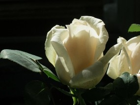 Обои Белая роза: Роза, Цветок, белая, Цветы