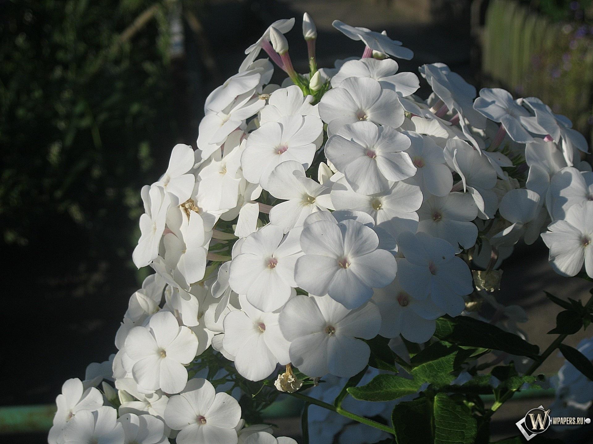 Белый флокс 1920x1440
