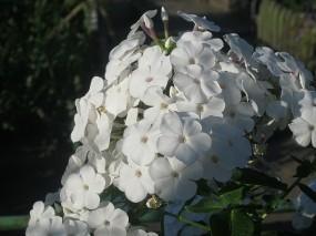 Обои Белый флокс: Солнце, Цветы, белые, Цветы