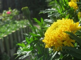 Обои Маленькое солнце: Цветок, Желтый, Бархатец, Цветы