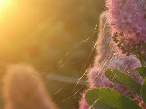 Обои Золотая паутина: Цветок, Закат, Паутина, Цветы