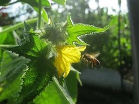 Обои Летняя идиллия: Цветок, Пчела, огурец, Цветы