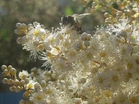 Обои Цвет рябинника: Цветы, Пчела, Цветы