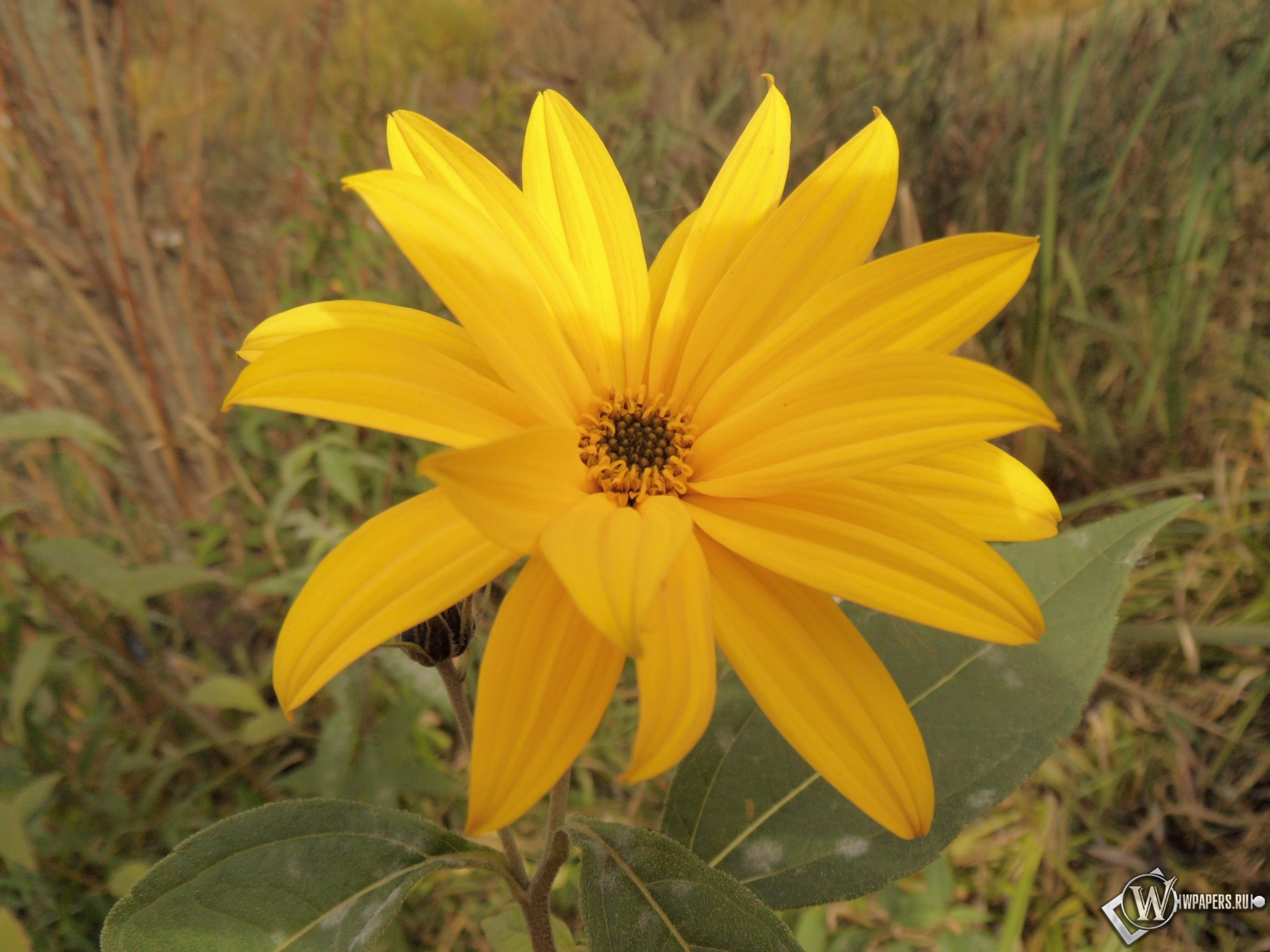 Солнечный цветок 3200x2400