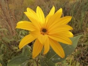 Обои Солнечный цветок: Осень, Цветы, Желтый, Цветы