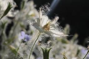 Обои Аквилегия в тополином пуху: Цветок, Растение, Цветы