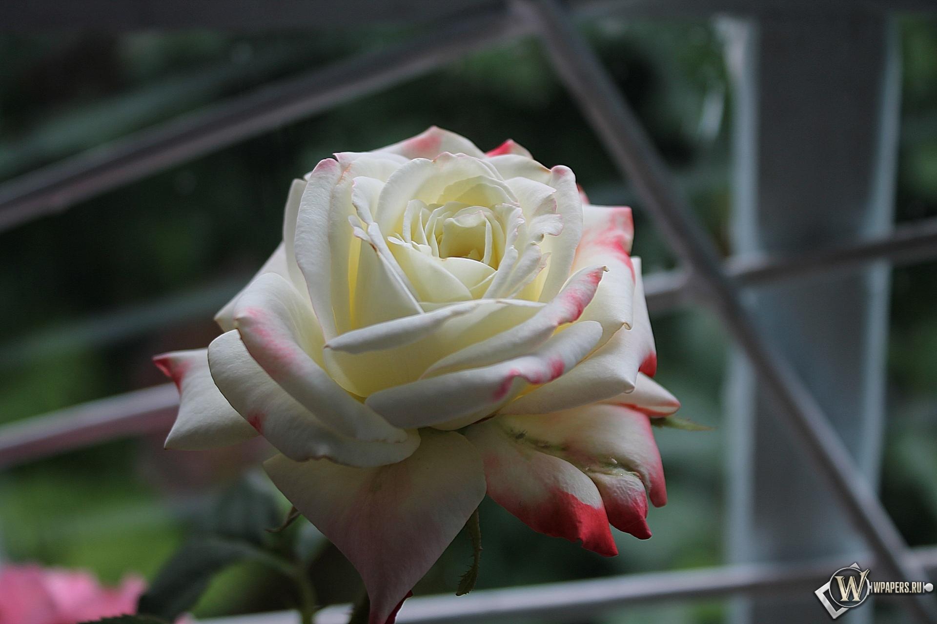 Роза у окна 1920x1280