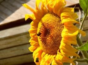 Обои Подсолнух: Солнце, Лето, Подсолнух, Растения, Цветы