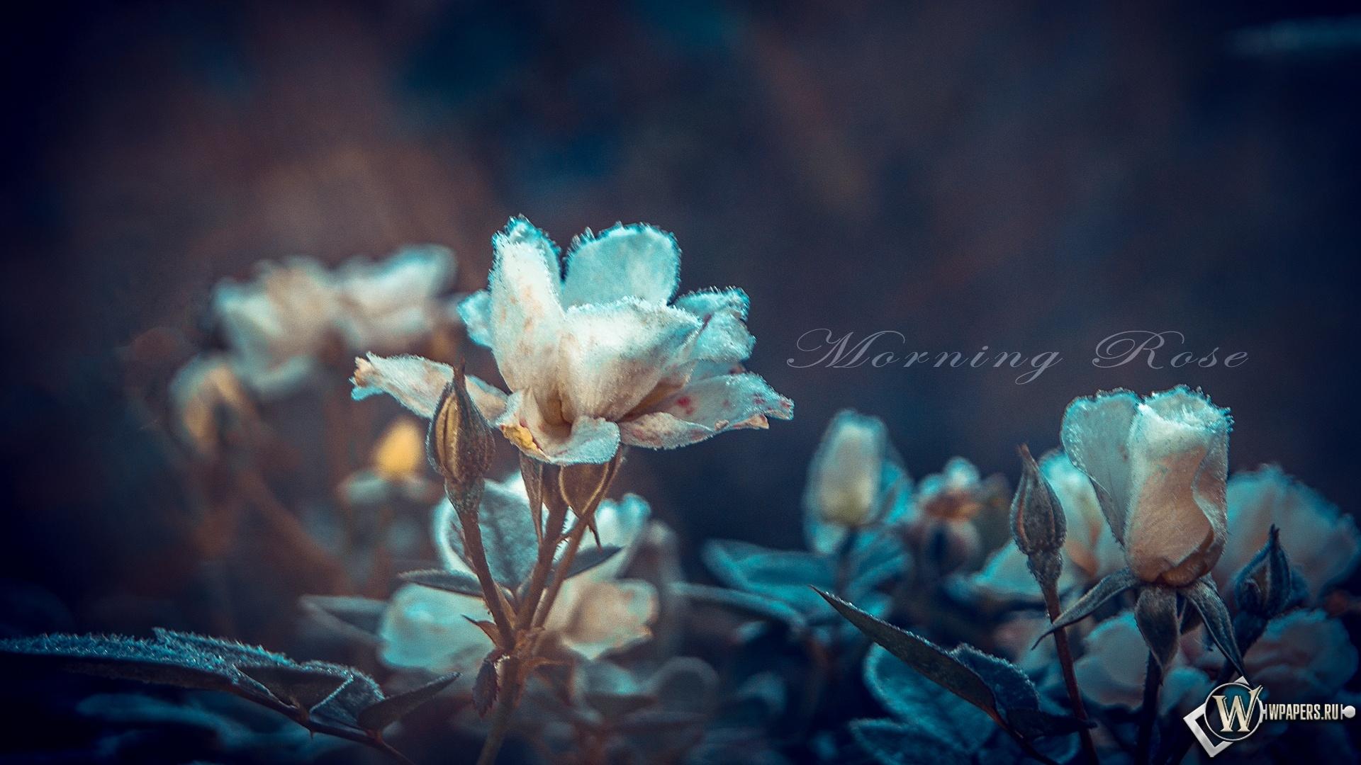 Утренние розы 1920x1080