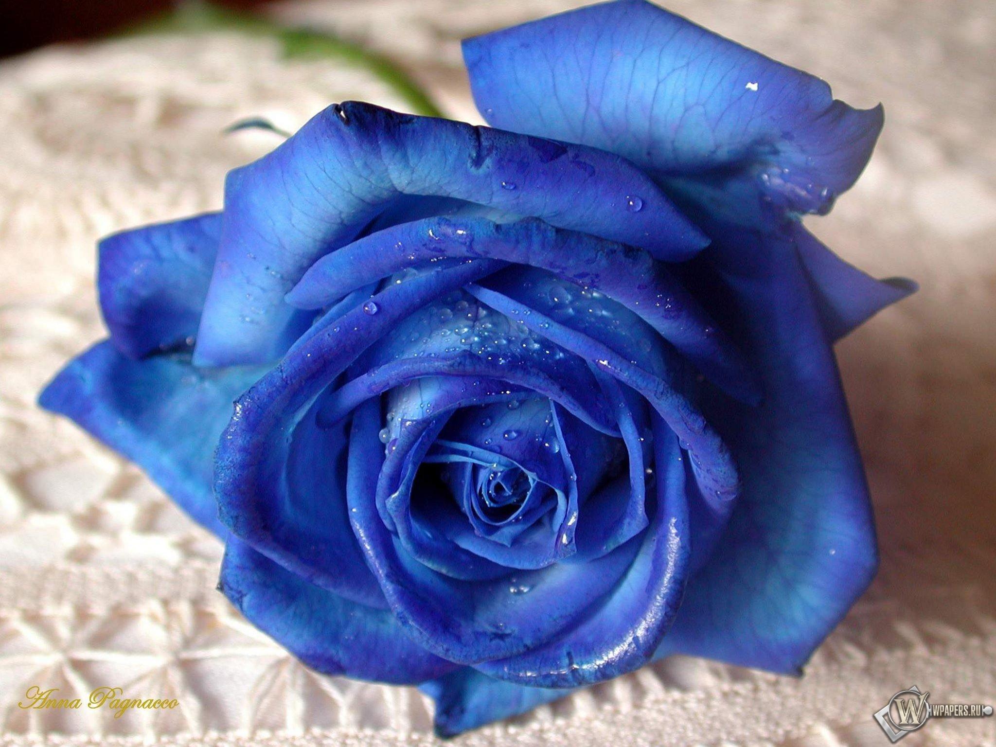Синяя роза 2048x1536