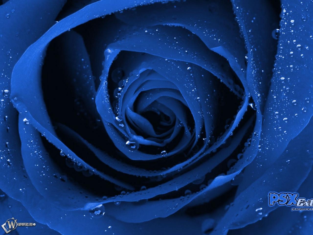 Синяя роза 1280x960
