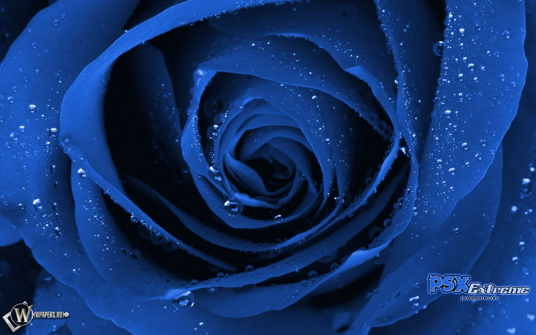Синяя роза 1440x900