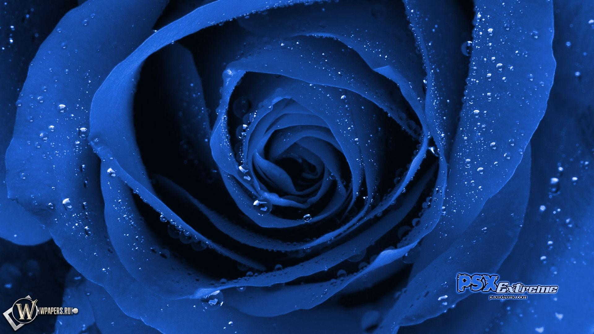 Синяя роза 1920x1080
