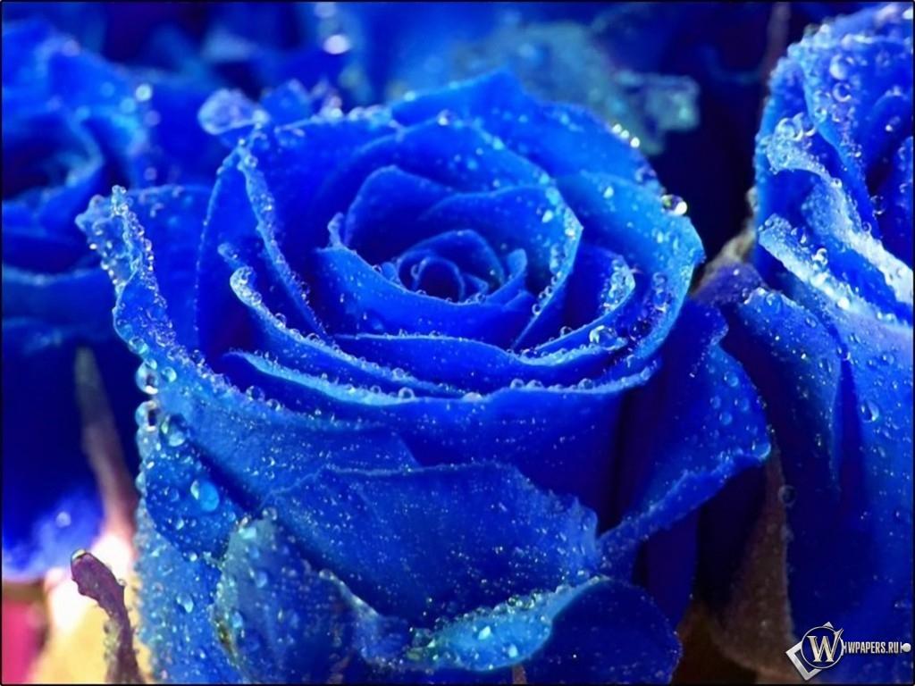Синяя роза 1024x768