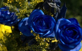 Обои Синии розы: Синий, Цветы, Розы, Цветы