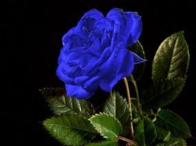 Обои Синяя роза: Роза, Цветок, Синий, Цветы