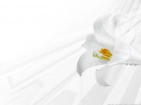 Обои Белая лилия: Цветок, Лилия, Цветы