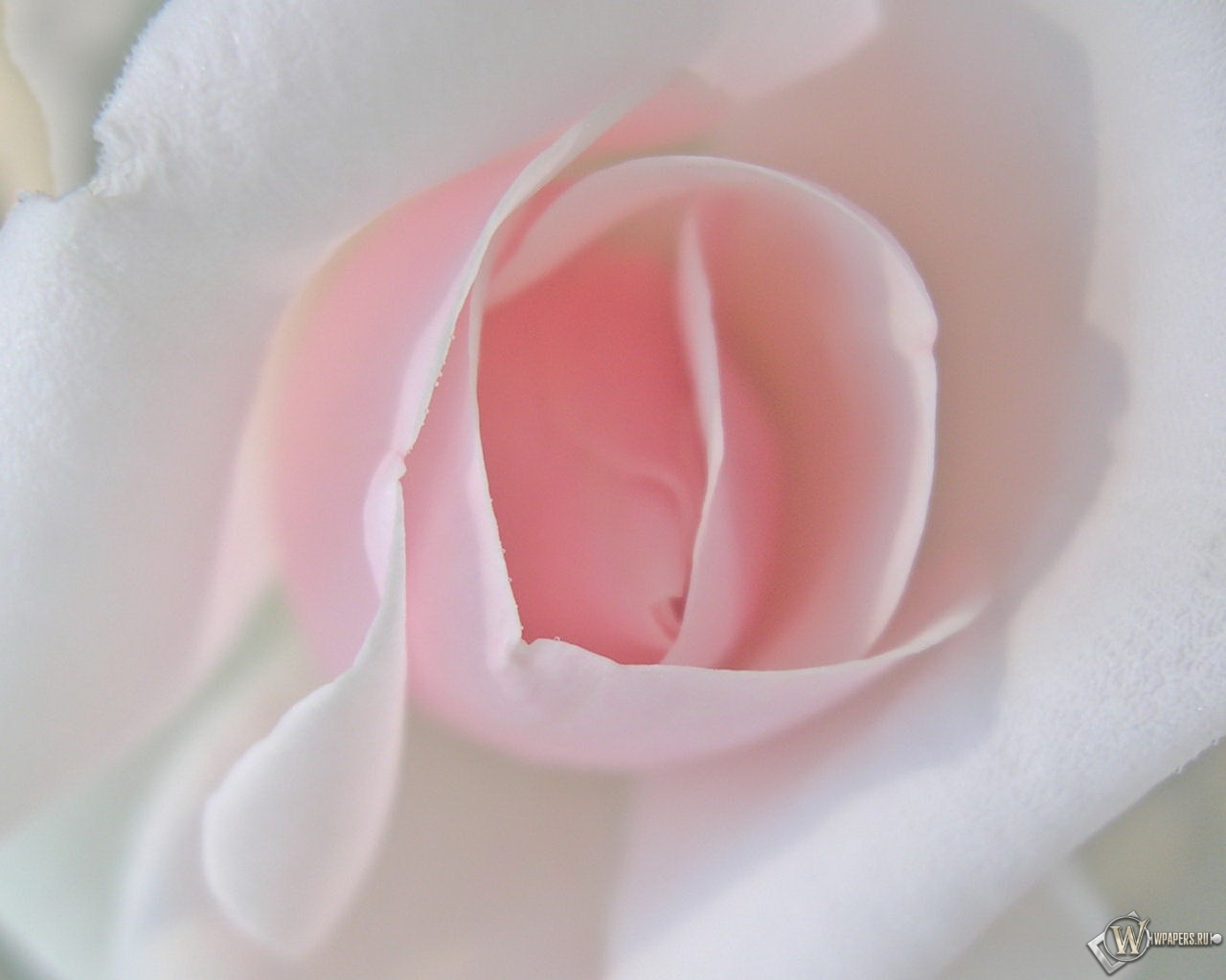 Алая роза 1280x1024