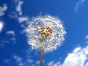 Обои Одуванчик: Облака, Небо, Одуванчик, Цветы