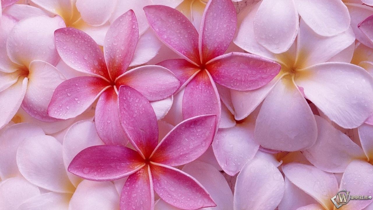 Лепестки цветов 1280x720