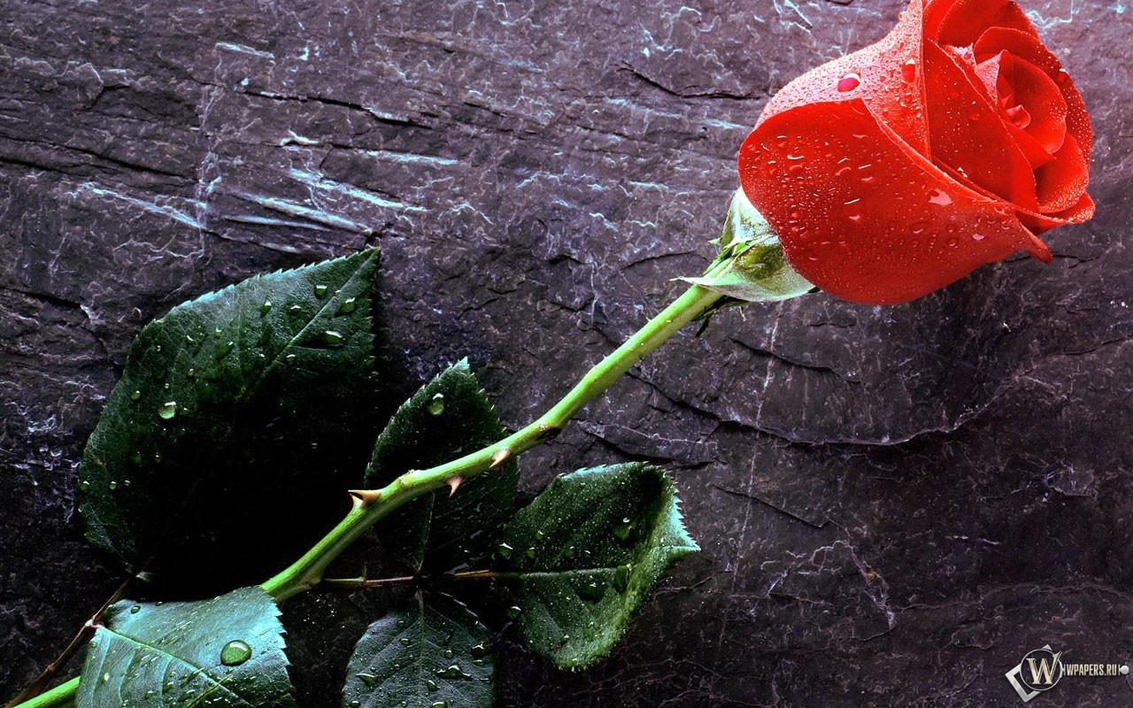 Красная роза 1280x800