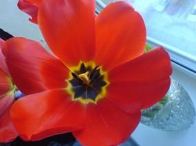 Обои Тюльпан: Цветок, Тюльпан, Цветы