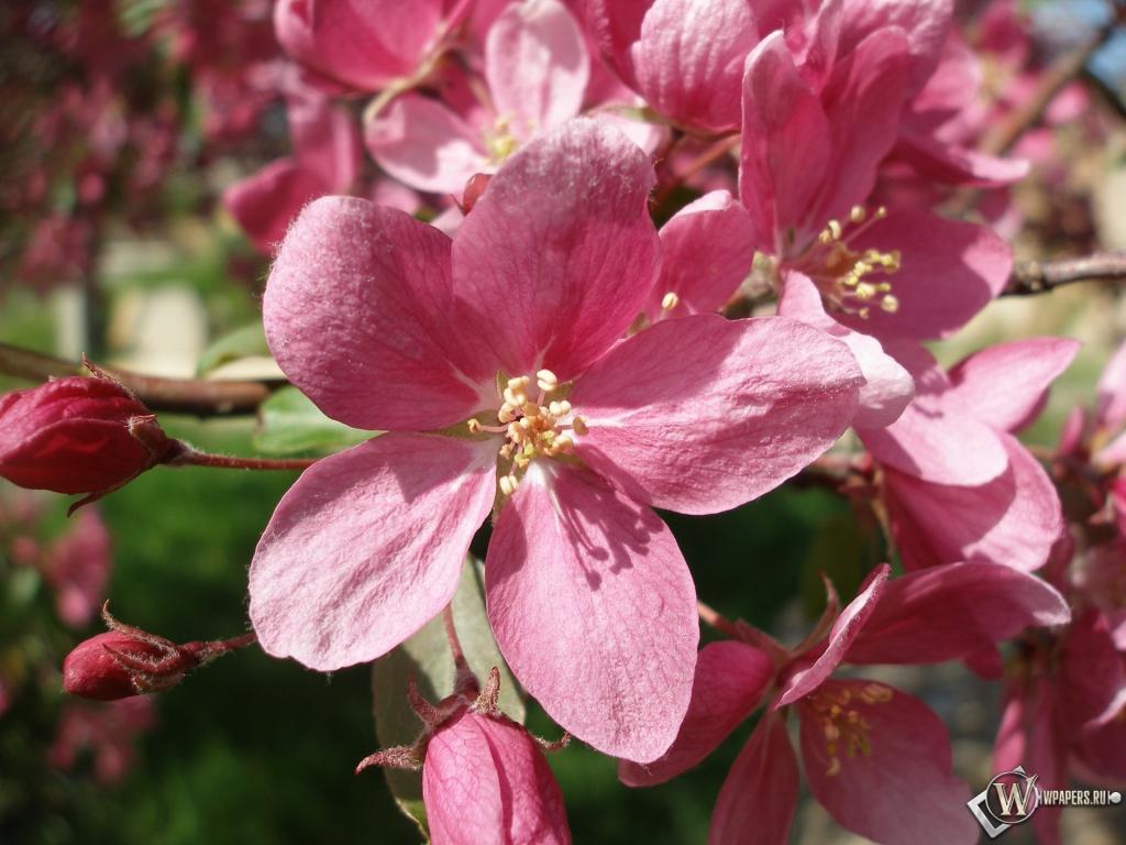 Розовые цветы 1024x768