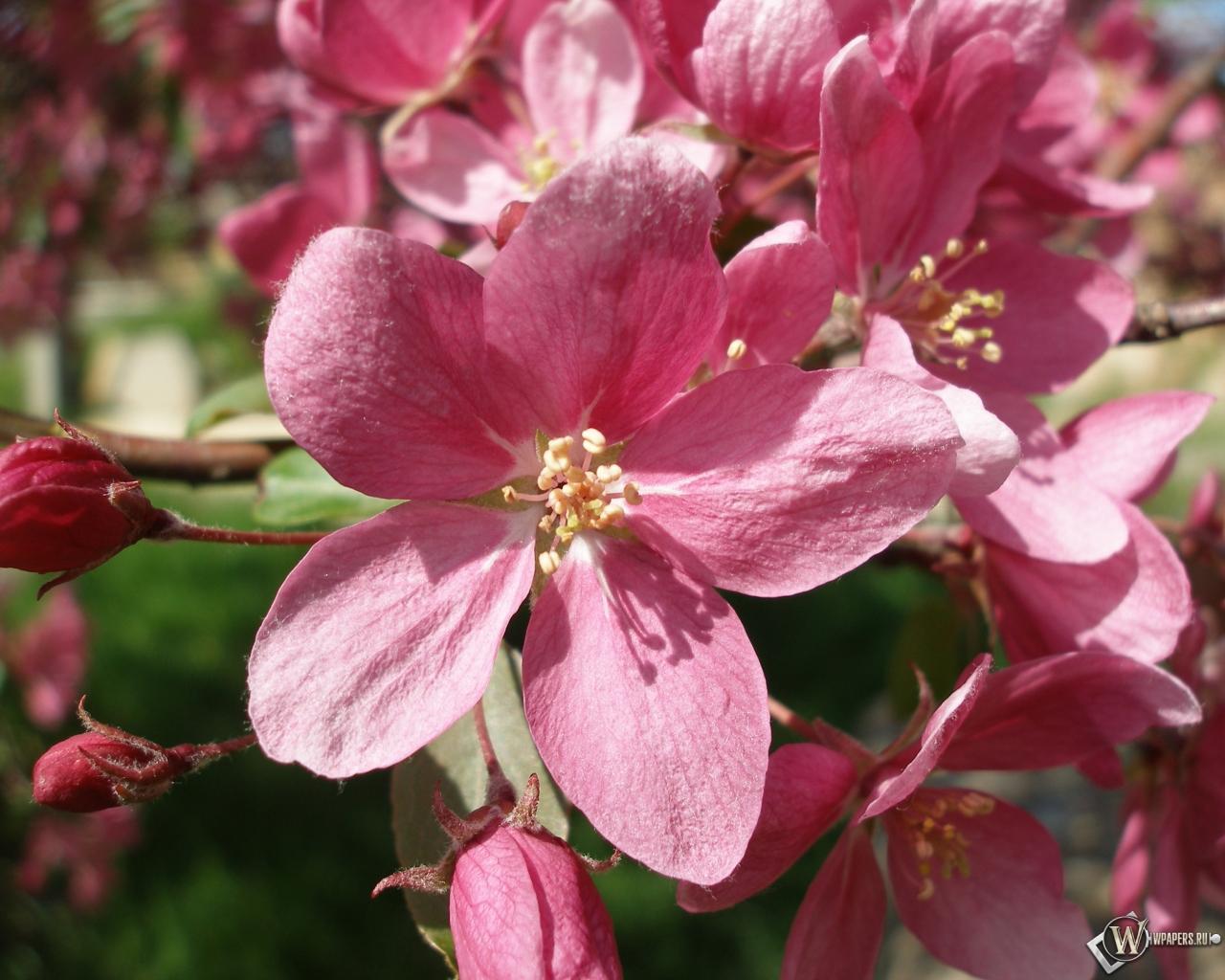 Розовые цветы 1280x1024