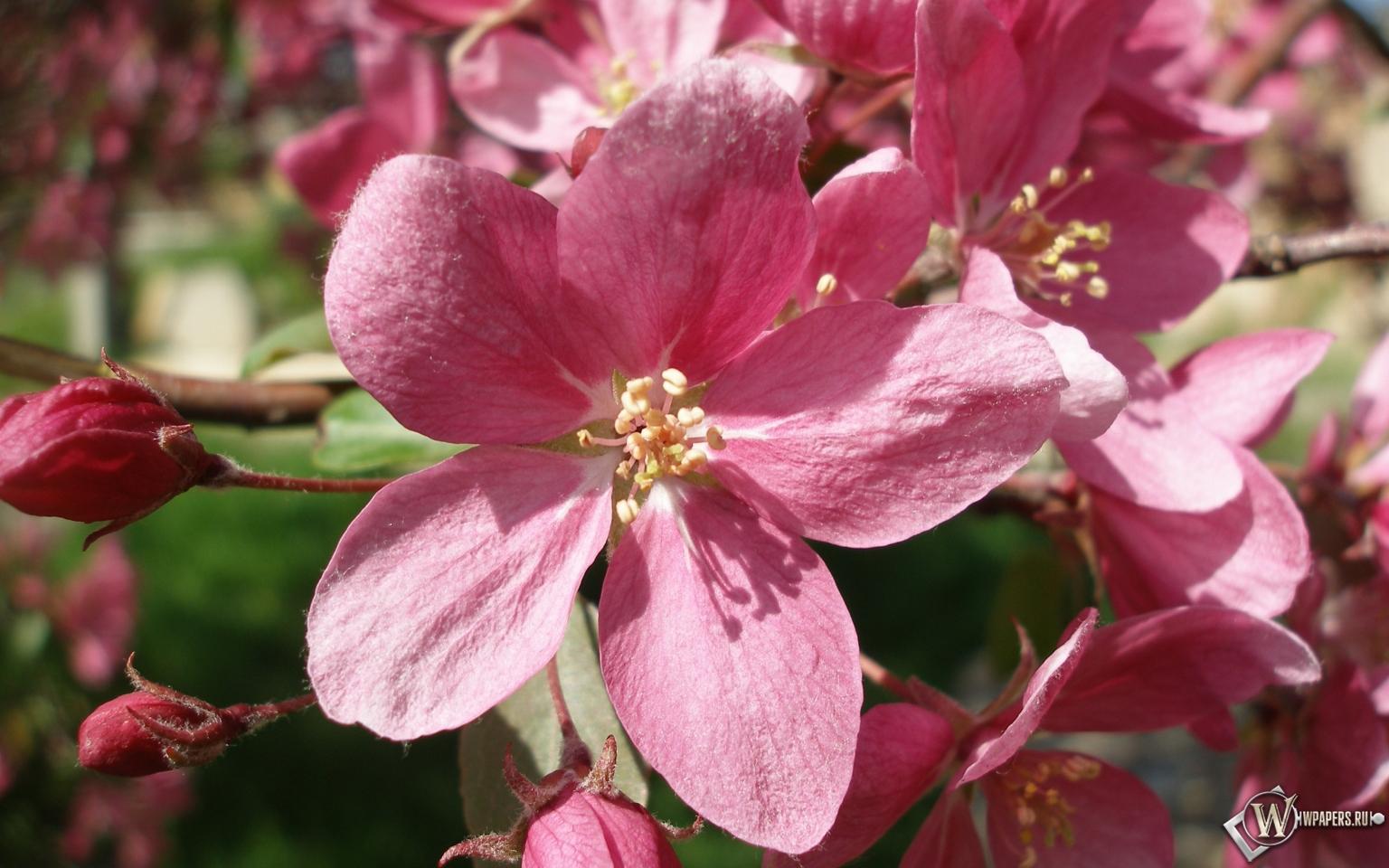 Розовые цветы 1536x960