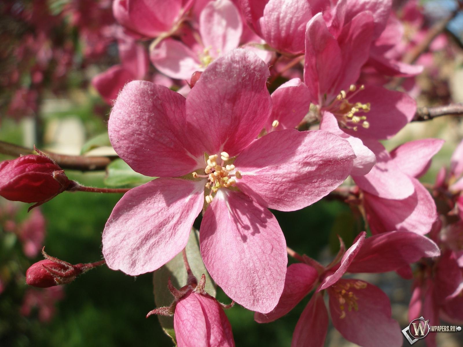 Розовые цветы 1600x1200