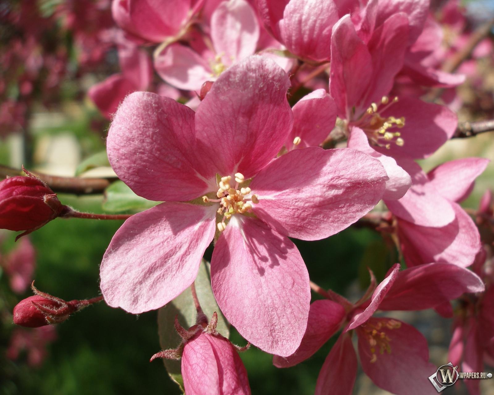 Розовые цветы 1600x1280