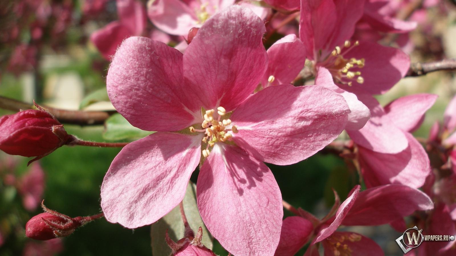 Розовые цветы 1600x900