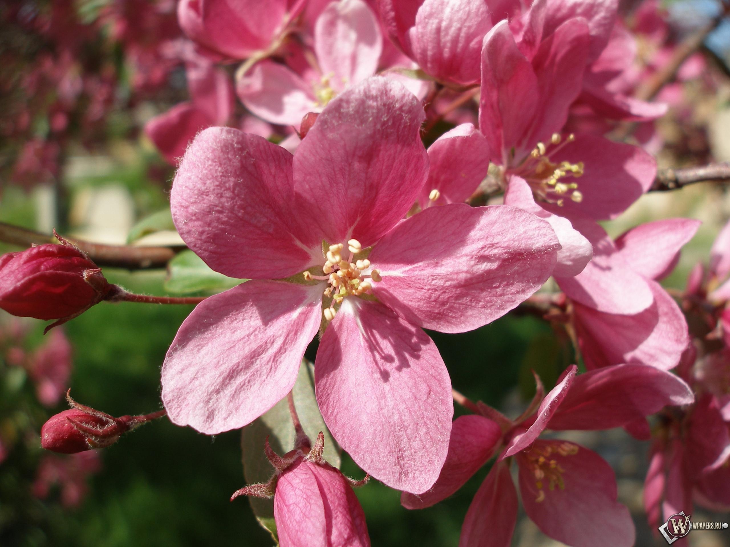 Розовые цветы 2560x1920