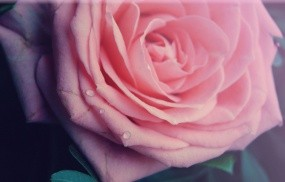 Обои Роза: Роза, Макро, Цветы