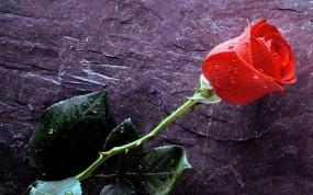 Обои Роза: Вода, Роза, Капельки, Капли воды, Шип, Цветы