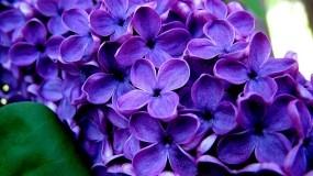 Великолепные фиолетовые цветы