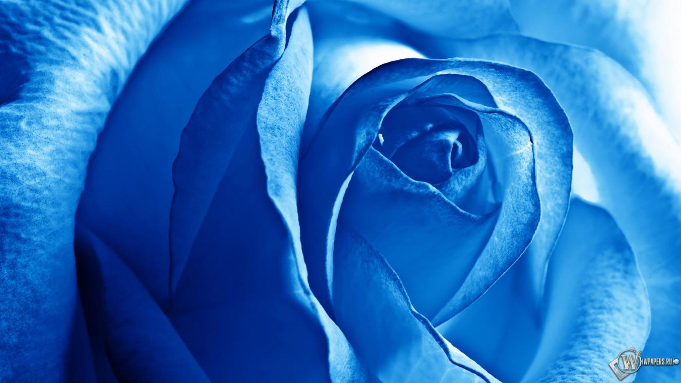 Роза синяя 1366x768