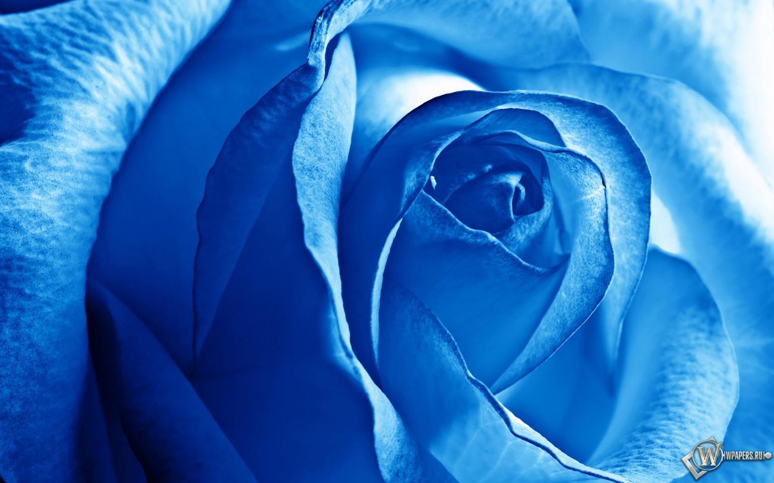 Роза синяя 1536x960