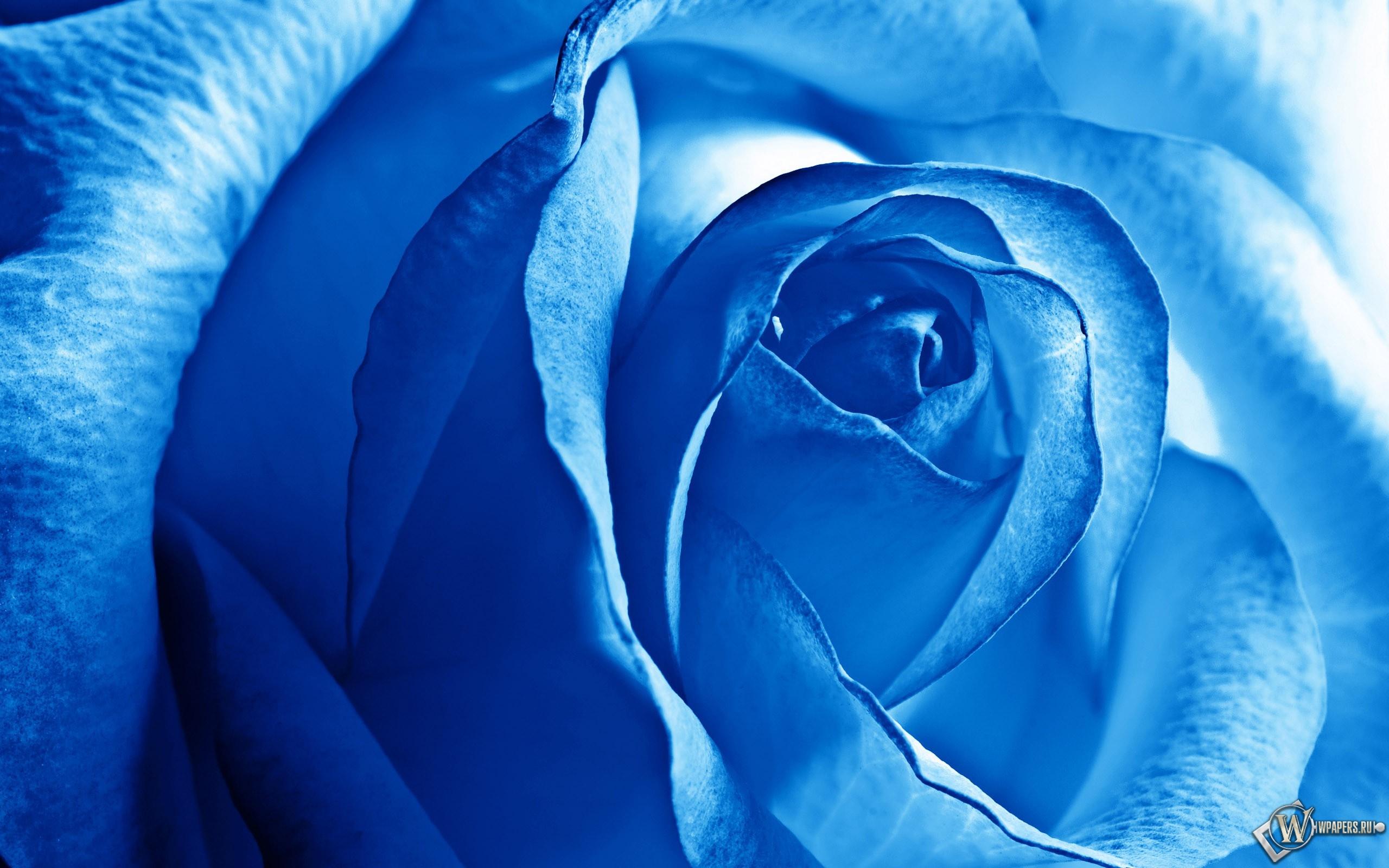 Роза синяя 2560x1600