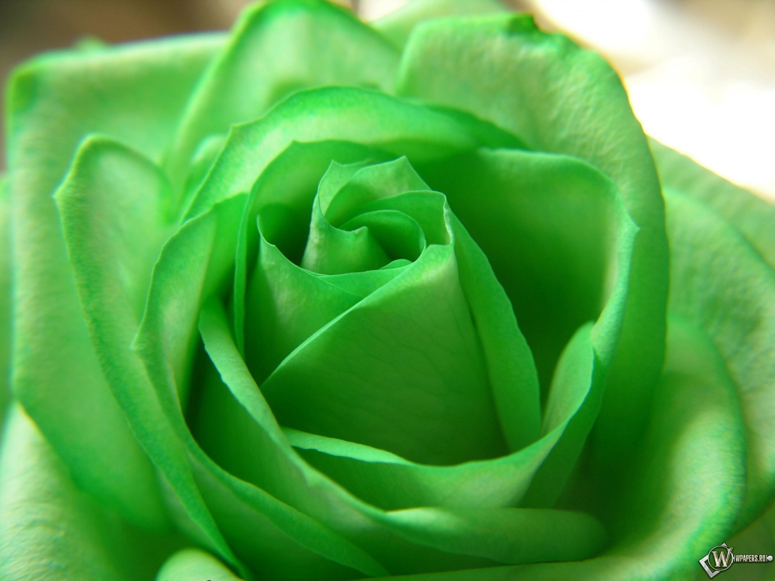 Зелёная роза 2560x1920