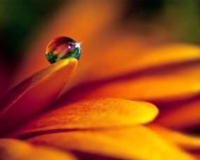 Обои Капля блестит на лепестке: Вода, Макро, Цветы, Цветы