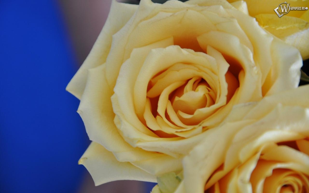 Желтые розы 1280x800
