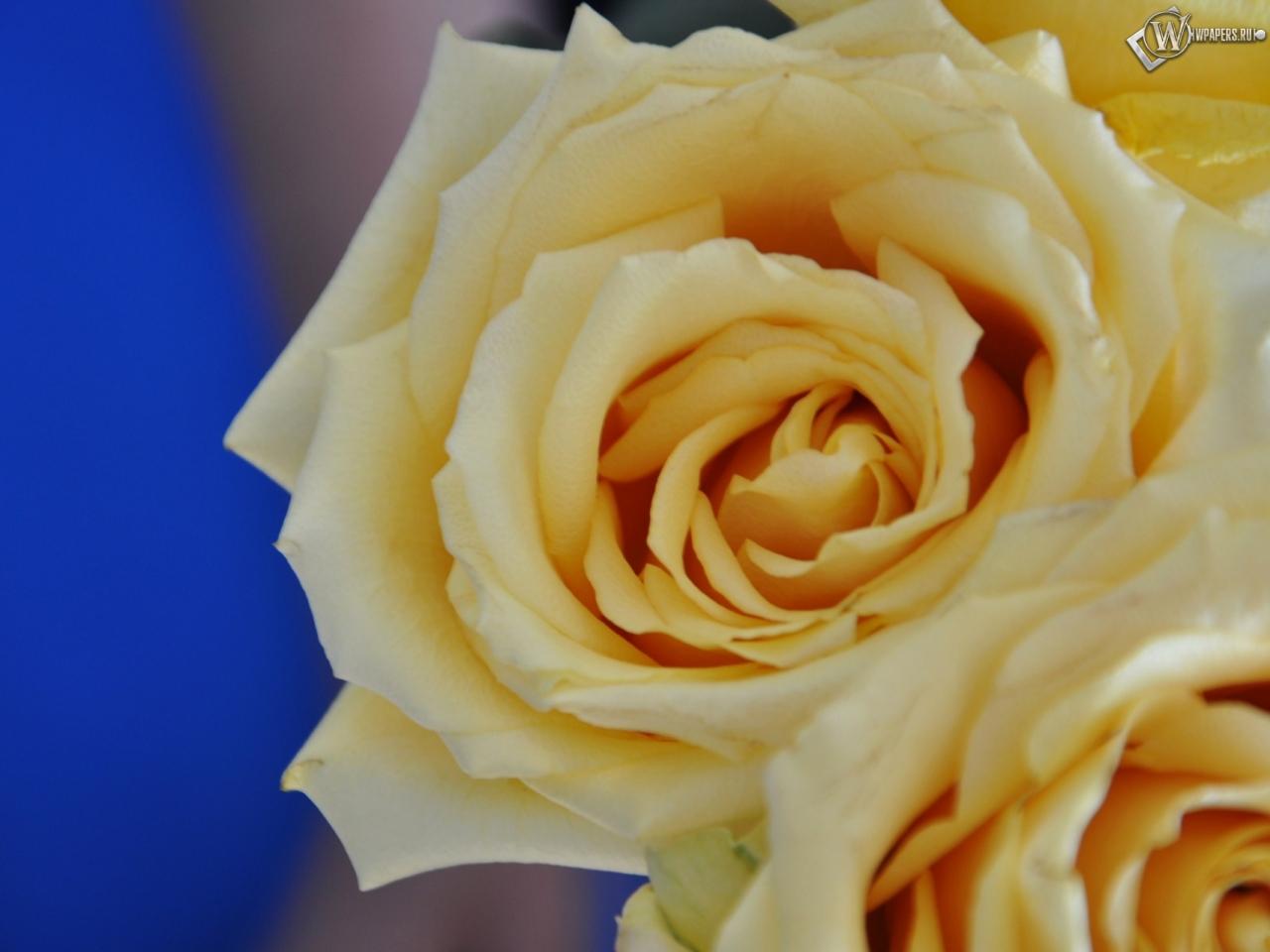 Желтые розы 1280x960