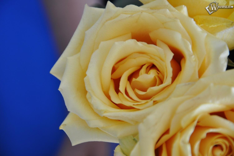 Желтые розы 1500x1000