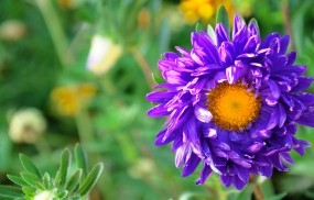 Обои Фиолетовая астра: Цветок, Макро, Астра, Цветы