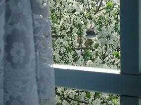 Обои Яблоня за окном: Окно, Весна, Яблоня, Цветы