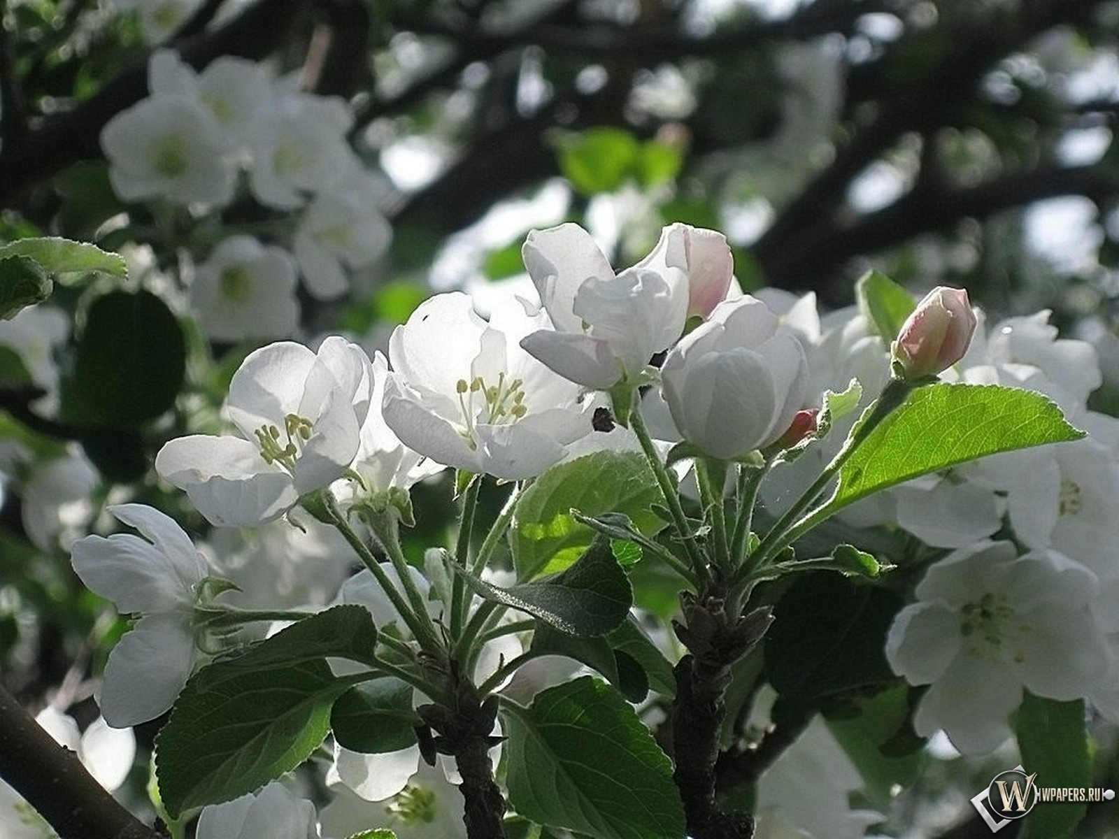 Яблоневый цвет 1600x1200