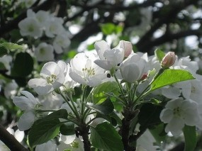 Обои Яблоневый цвет: Весна, Цветки, Яблоня, Цветы