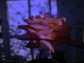Обои Сумеречная роза: Роза, Цветок, Темнота, Сумерки, Цветы