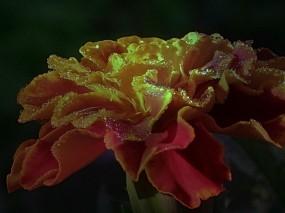 Роса на цветке бархатца